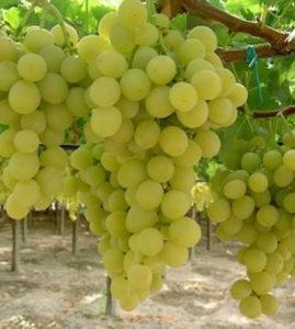 vite di uva